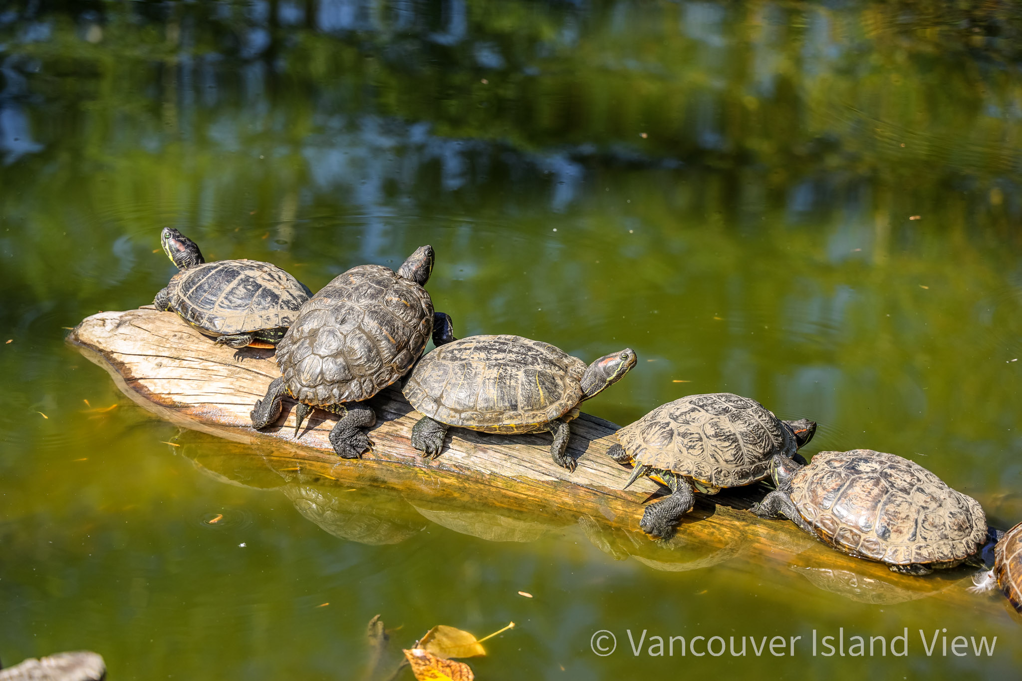 Turtles at the Wildlife Recovery Centre on Vancouver Island. Vancouver Island View