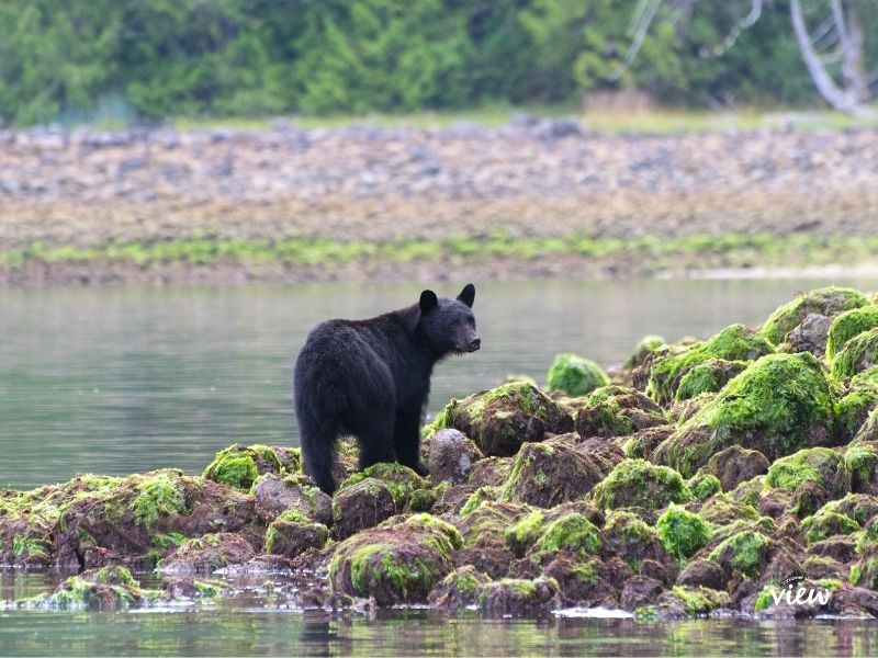 Bear in Tofino. Things to see and do while in Tofino. Vancouver Island View