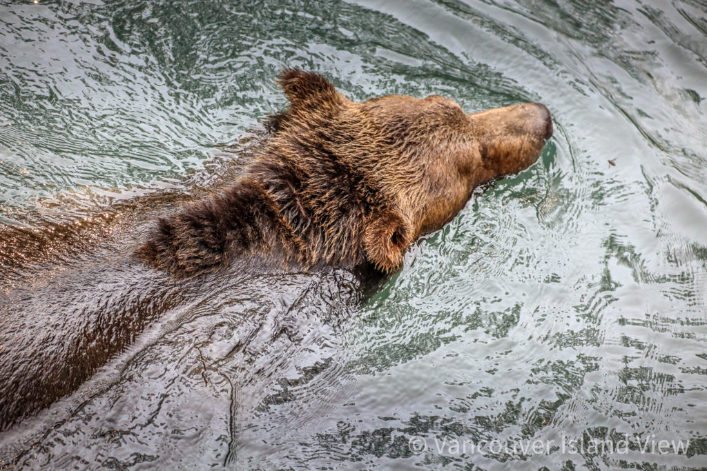 Campbell River Grizzly Bear Tours. Vancouver Island View